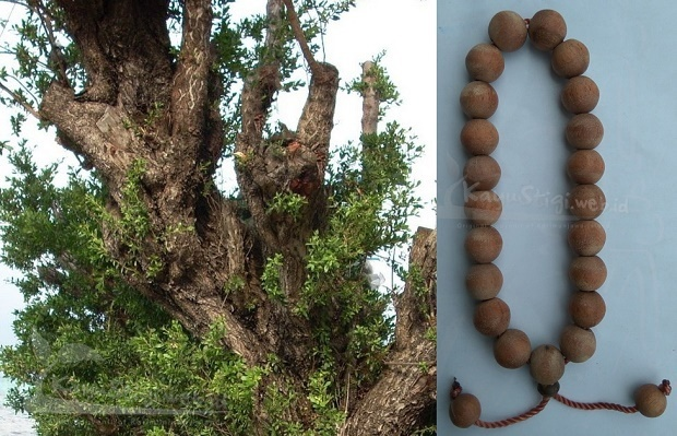 Pohon kayu stigi